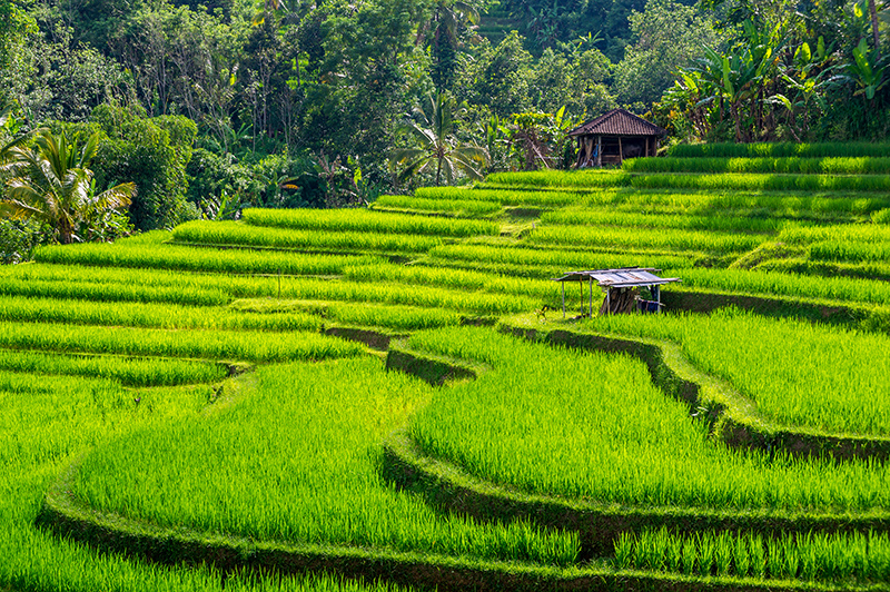 Jatiluwih Rice Terraces. Photo © Ivaho | Shutterstock.