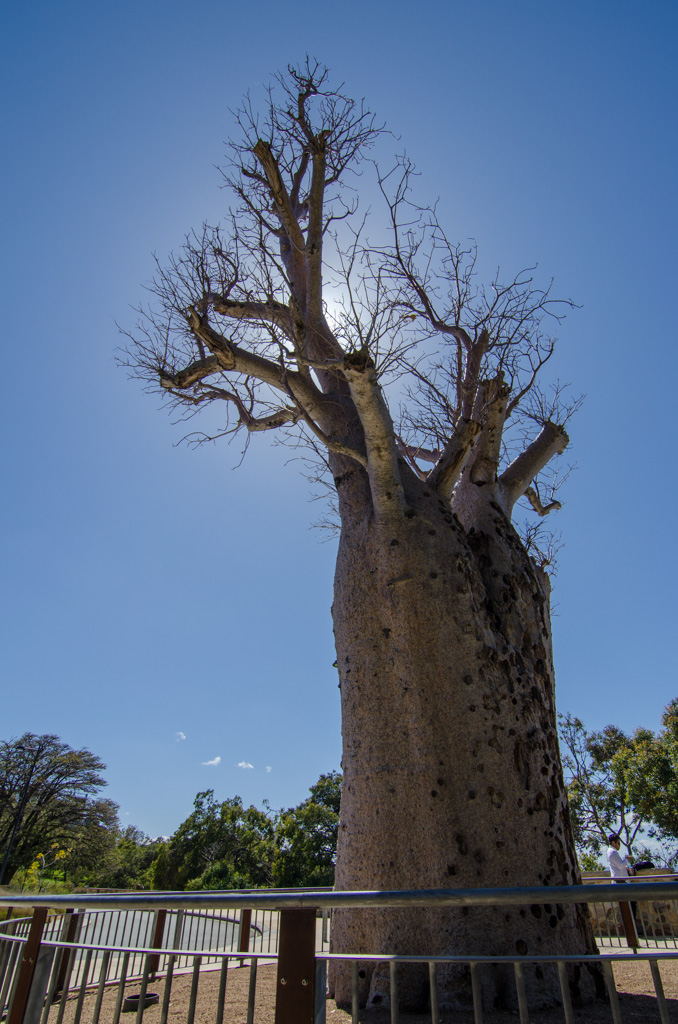 The 750 years-old Giant Boab Tree in Kings Park that traveled more than 3,200 km from its origins in Kimberly, Australia to Perth. Photo © Justin Teo.
